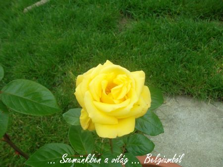 tata rózsái1