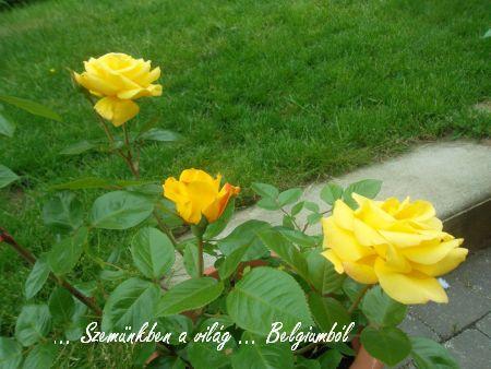 tata rózsái2